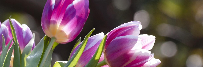 tulip-1271715_960_720